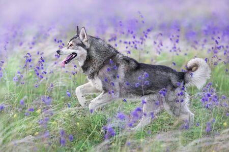 Beautiful husky run in salvia and feather fields 写真素材