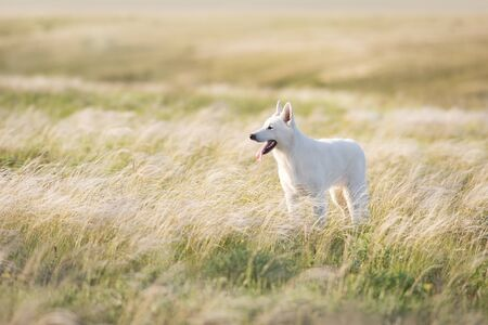 White Swiss Shepherd Dog on feather grass  at sunset 写真素材