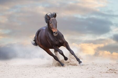 Bay stallion free run fast on desert dust 写真素材