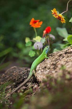 European green lizard close up lay on rock Фото со стока - 150153255