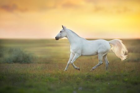 White horse run gallop against sunset sky Фото со стока