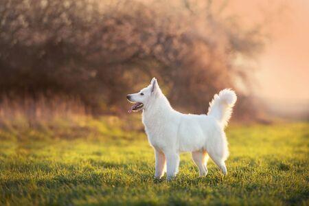 White Swiss Shepherd Dog on spring medow flowers  at sunset