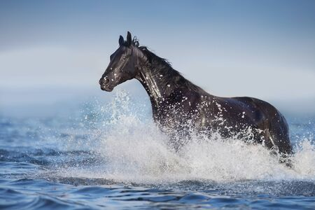 Black horse free run in blue water with splash Фото со стока