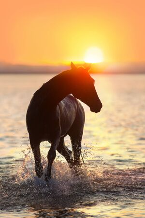 Black horse silhouette at sunset in water