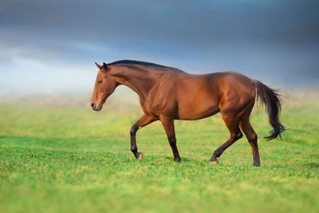 A brown horse against black background