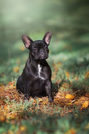Portait of a french bulldog give a paw to the owner