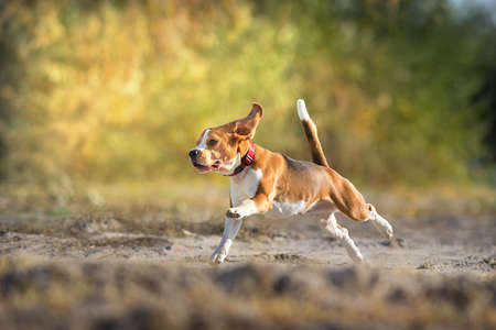 Beagle in orange fall park free run