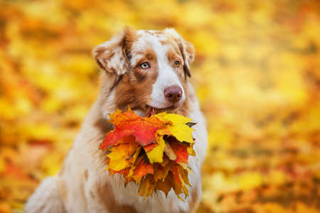 Australian Shepherd dog with a bouquet of autumn leaves in the mouth Imagens