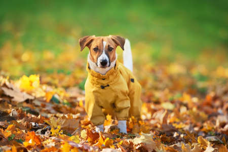 Close up portrait of a Jack Russell dog in a suit in the autumn park