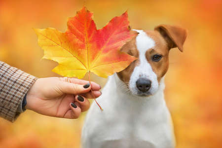 Portrait of jack russell with an autumn maple leaf near his face Imagens