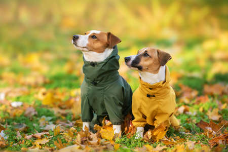 Close up portrait of two jack russell dog in a clothes in the autumn park Imagens