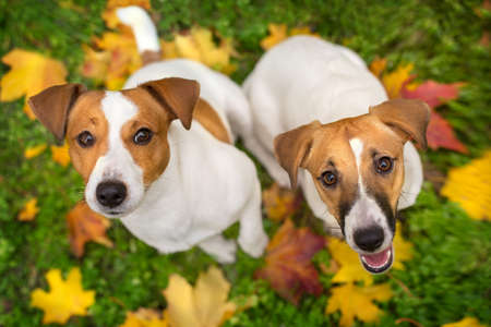 Close-up portrait of two Jack Russell Terrier dog autumn in the park in autumn leaves Imagens