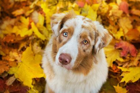Australian Shepherd close up portrait in fallen bright maple leaves