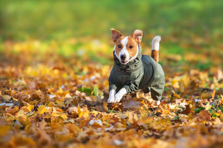 Close up portrait of a Jack Russell dog in a raincoat in the autumn park