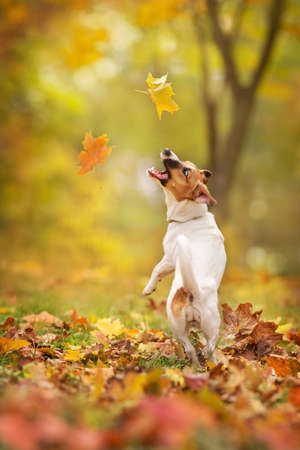 Jack russel dog play with fall leaves in autumn park