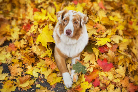 Australian Shepherd lies in fallen bright maple leaves