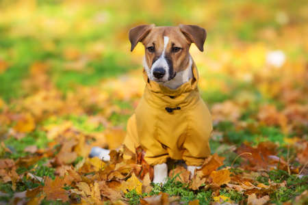 Close up portrait of a Jack Russell dog in a yellow suit in the autumn park