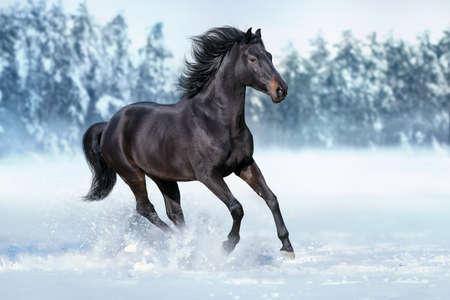 Bay horse run free gallop isolated on white Zdjęcie Seryjne