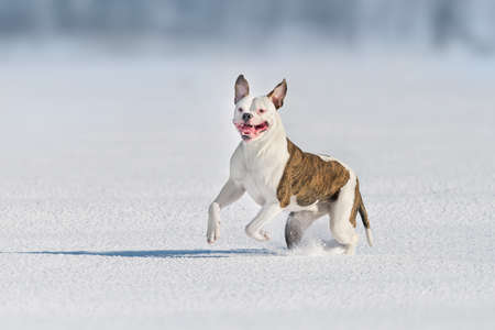 American bulldog free run in snow field