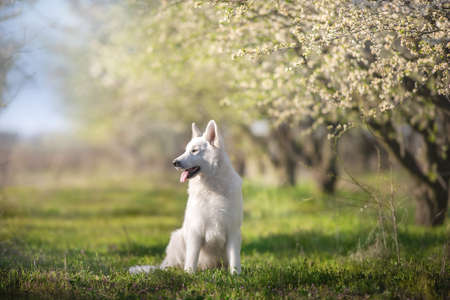 Beagle dog portrait in spring sakura blossom tree