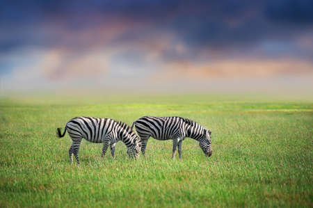 Two Zebra close-up grazing on green on filed against sunset sky