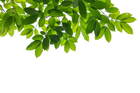 Beautiful Green leaves on white background  Stock fotó