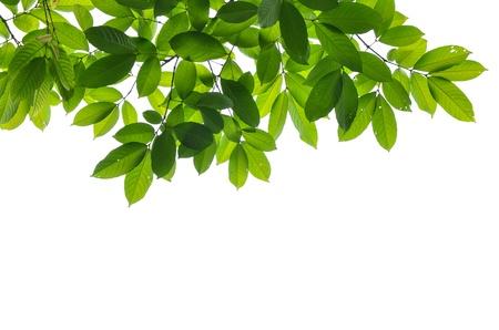 Belle foglie verdi su sfondo bianco Archivio Fotografico - 21226283