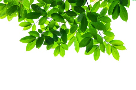 Beautiful Green leaves on white background  Stock Photo