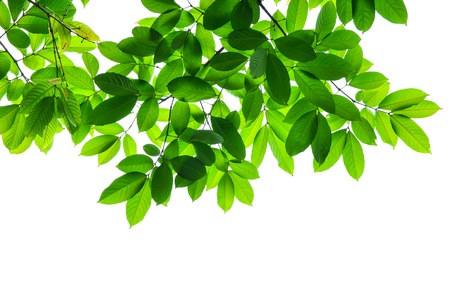 Beautiful Green leaves on white background  Standard-Bild