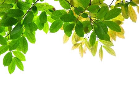 白い背景の上の美しい緑を葉します。 写真素材