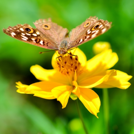 butterfly on yellow flower with green background