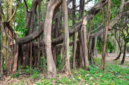 banyan tree with many dramatic roots and branches photo