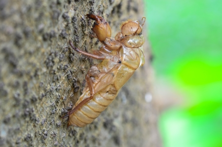 Cicada shell muda que cuelga de un �rbol photo