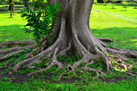 Root of tree