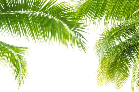 foliage frond: Palm leaves on white background