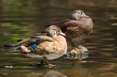 Female Duck Banco de Imagens