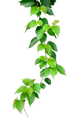 rama: Hojas verdes hermosas aisladas sobre fondo blanco