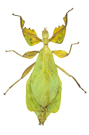 Phyllium sicipholium, leaf insect , isolated on white background
