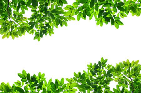 白い背景の美しい緑を葉します。 写真素材
