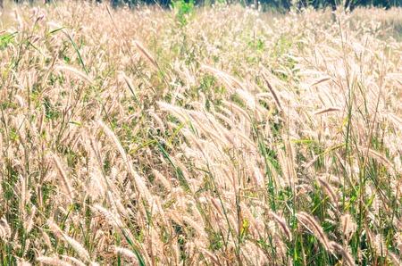 cane plumes: Prairie grass field