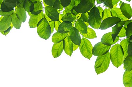jungle animals: Hojas verdes hermosas en el fondo blanco
