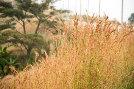 cane plumes: Prairie grass field for background