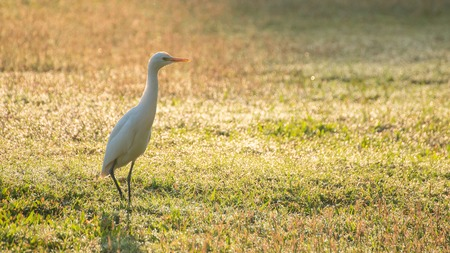 anastomus: one asian openbill bird walking in grass field looking for food in the morning