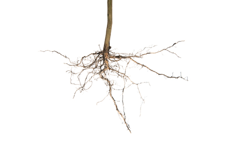 planta con raiz: plant root isolated on white background