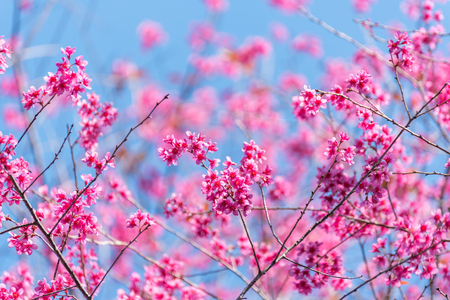 beautiful pink flower wild himalayan cherry flower (Prunus cerasoides) , Thai Cherry Blossom