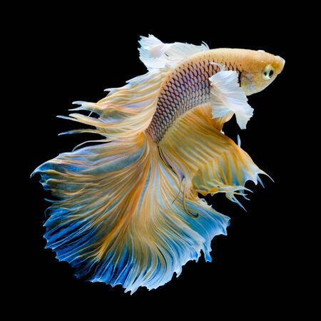 gold Siamese fighting fish movement isolated on black background