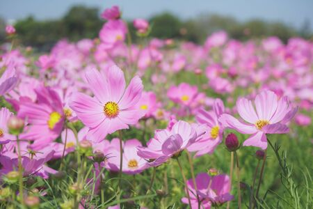 pink cosmos flower blooming in spring season , sweet tone