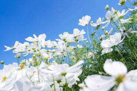 white cosmos flower blooming in spring season under blue sky