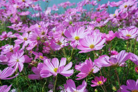 violet cosmos flower blooming in spring season , sweet tone
