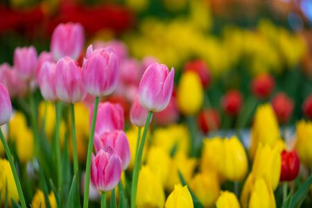 beautiful many color tulips flower in garden